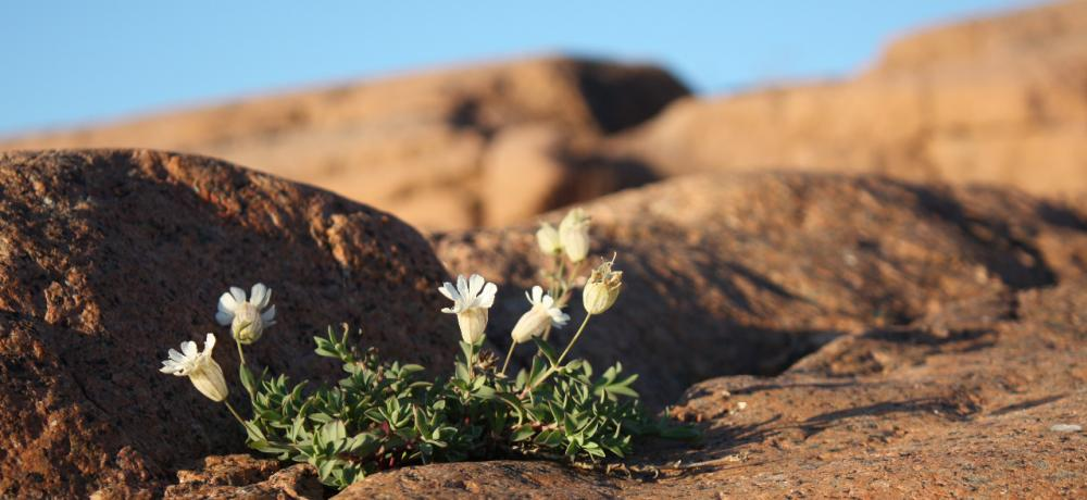 Blomma på berg
